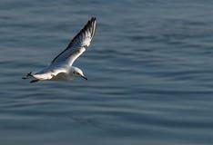 Fliegenseemöwe auf unscharfem Wasserhintergrund lizenzfreie stockfotos