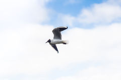 Fliegenseemöwe im Himmel mit Wolken Stockbild