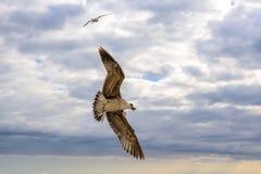Fliegenseemöwen im Himmelsommer in der Krim lizenzfreies stockbild