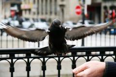 Fliegentaube Stockfoto
