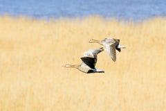 Fliegenteamwork - Ganspaar Stockbild