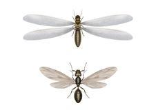 Fliegentermite und Fliegenameise Stockfotos