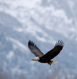 Fliegenweißkopfseeadler Stockfotografie