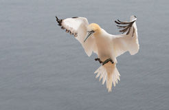 Flieing northern gannet Stock Image