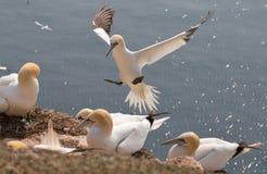 Flieing północny Zdjęcie Royalty Free