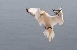 Flieing północny gannet Obraz Stock