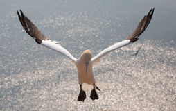 Flieing północny gannet Obraz Royalty Free