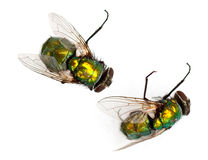 Flies Royalty Free Stock Photos