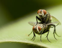 Flies. A macro shot of two flies making love. Each of them is about 10mm long royalty free stock photos