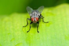 Flies. Closeup of a single housefly on a green leaf stock photography