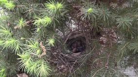 Flies cardinal masculin dans poussins d'alimentations dans le nid banque de vidéos