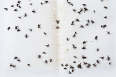 Flies caught on  sticky fly paper trap Royalty Free Stock Photo