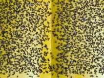 Flies caught on sticky flypaper trap Royalty Free Stock Photography