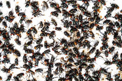 Flies caught on trap Stock Photography