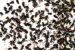 Flies caught on trap Royalty Free Stock Photography