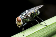 Flies cause diseases. And annoying royalty free stock image