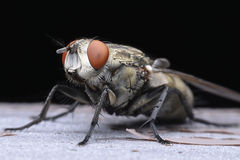 Flies cause diseases Royalty Free Stock Image