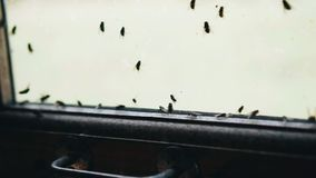 Flies clung to the glass. Close-up of insects. Large accumulation of flies stock footage