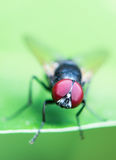 Flies Compound Eyes Royalty Free Stock Images