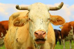 Flies on cow. Funny pose stock images