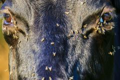 Flies crawl into the eye to the cows in the summer heat stock photo