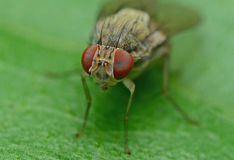 Flies. Details And Texture Of Flies Stock Photos