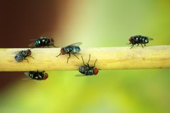 Flies are eating human debris. Is an insect that brings cholera disease into the human body royalty free stock photography