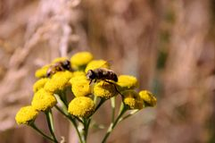 Flies gathering pollen. Stock Image