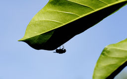 Flies in green leaves Royalty Free Stock Photography