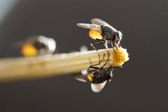 Flies hold on bamboo chopstick Stock Photos