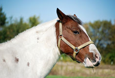 Flies on horse. Flies on a horse in pasture stock image