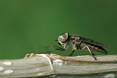 Flies insects stock photos