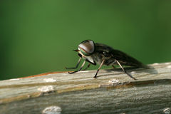 Flies insects royalty free stock photo
