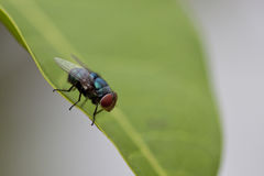 Flies on leaf. A Flies on green leaf Royalty Free Stock Photo