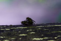 Flies make love on a tree branch. Insects reproduce stock images