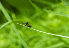 Flies mateing in green background Royalty Free Stock Image