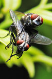 Flies Mating royalty free stock photo