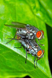 Flies Mating Royalty Free Stock Images
