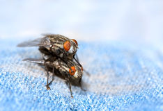 Flies Mating Stock Image