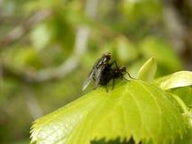 Flies mating Stock Photo