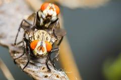 Flies mating Stock Photos