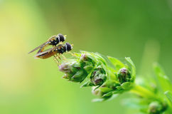 Flies mating Stock Photography