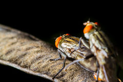Flies mating Stock Photos