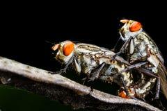 Flies mating Royalty Free Stock Photos