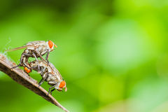 Flies mating Stock Images