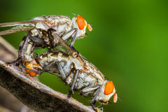Flies mating Royalty Free Stock Image