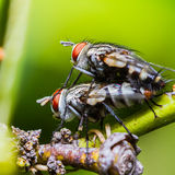 Flies mating Royalty Free Stock Photography