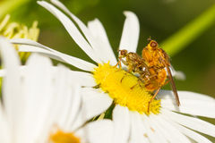 Flies mating on a white flower Royalty Free Stock Photography