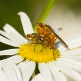 Flies mating on a white flower Royalty Free Stock Images