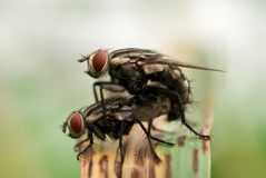 Flies mating in the wild Stock Photography